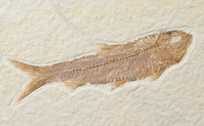 "3"" Knightia Fossil Fish - Wyoming"