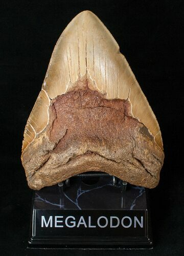 "MASSIVE 5.96"" Megalodon Tooth - Visible Serrations"