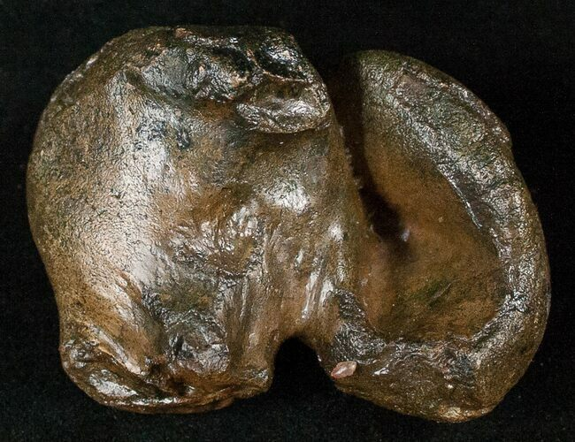 "2.4"" Fossil Manatee Ear Bone - Florida"