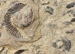 Plate of Pyritized Ammonites - Oujda, Morocco - #16113-1