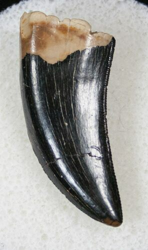 "Gorgeous 1.28"" Tyrannosaur Tooth - Fine Serrations"
