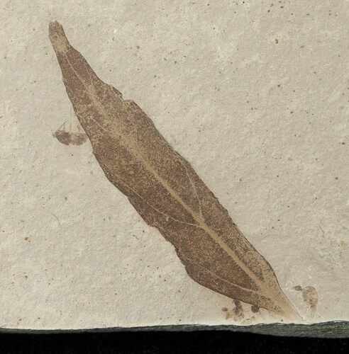Fossil Populus Leaf w/ Insect - Green River Formation
