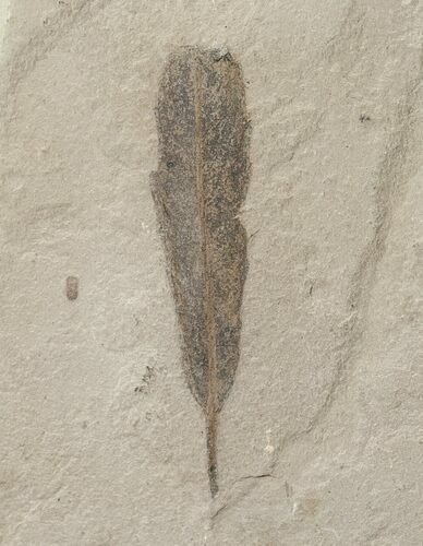 Fossil Populus Leaf - Green River Formation