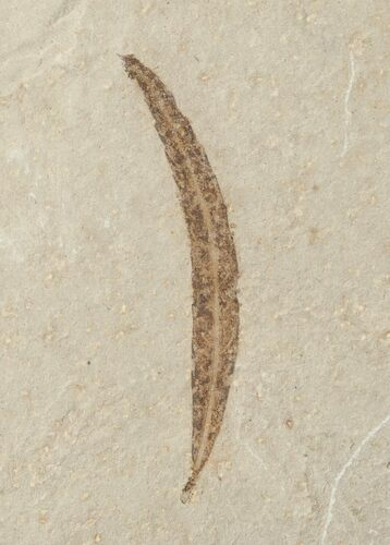 Fossil Pseudosalix Leaf - Green River Formation