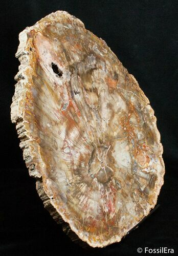 Large 13 inch Petrified Wood Slab - Madagascar