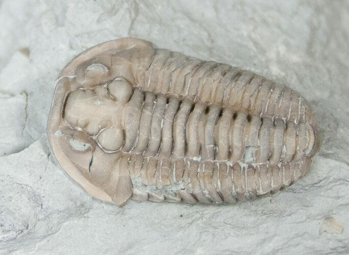 "Bargain 0.85"" Flexicalymene Trilobite from Ohio"
