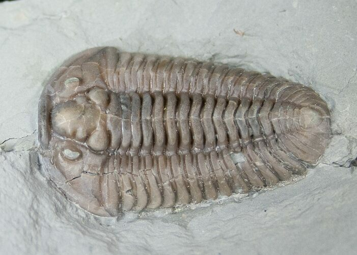 "1.35"" Flexicalymene Trilobite from Ohio"