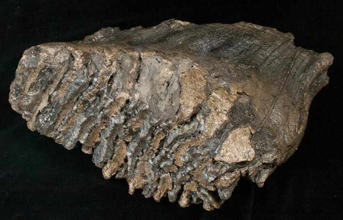 "8.6"" Southern Mammoth Molar - Ural Mountains"