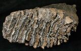 "8.6"" Southern Mammoth Molar - Ural Mountains - #16623-1"