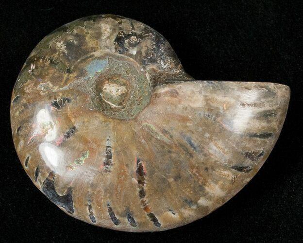 "1.7"" Wide Cleoniceras Ammonite"