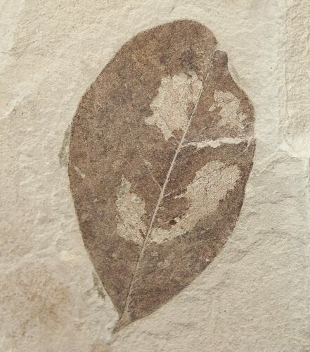 Fossil Leguminosites (Legume) Leaf - Green River Formation