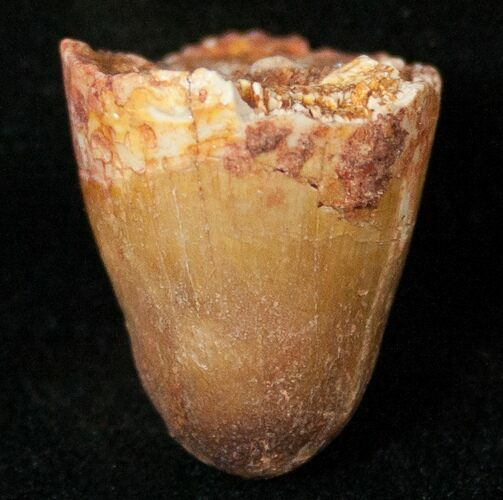 Cretaceous Fossil Crocodile Tooth - Morocco