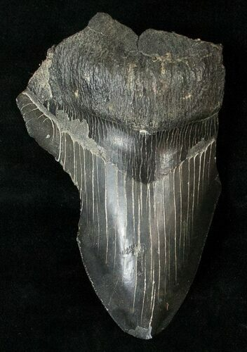 "Partial 4"" Fossil Megalodon Tooth"