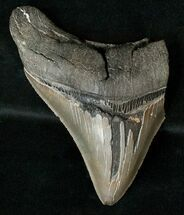 "Partial 4.1"" Fossil Megalodon Tooth - Sharp Serrations For Sale, #17249"