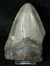 "Partial 4.4"" Fossil Megalodon Tooth For Sale, #17252"