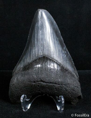 3.5 Inch Megalodon Tooth