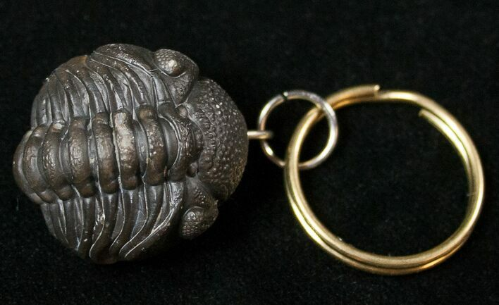 Real Phacops Trilobite Keychain