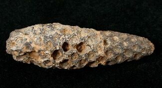 Unidentified Seed Cone - Fossils For Sale - #17454