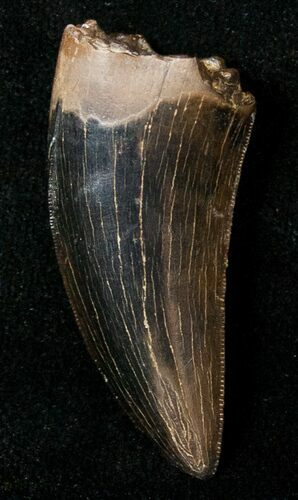 "Beautiful 1.32"" Tyrannosaur Tooth  - Montana"