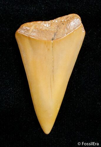 1.35 Inch Fossil Mako Tooth - Western Sahara Desert