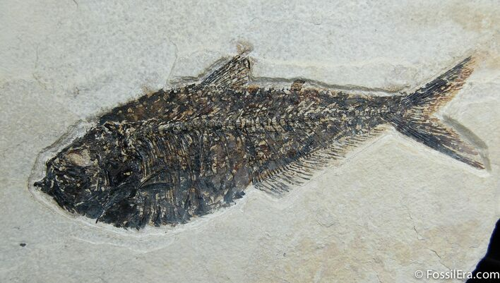 8 1/4 Inch Diplomystus Fish Fossil (18 Inch Layer)