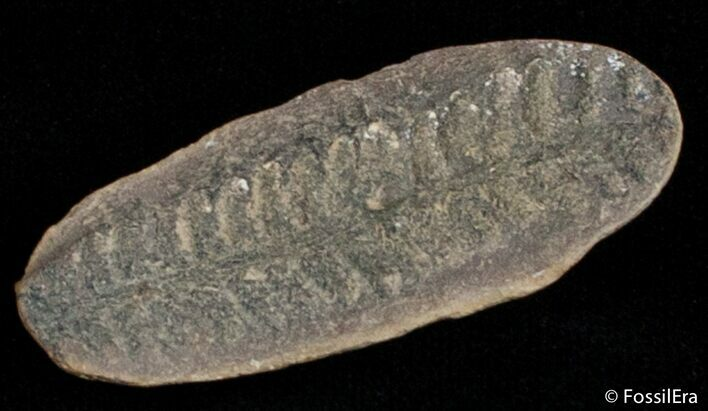 Fern Fossil From Mazon Creek - 300 Million Years Old