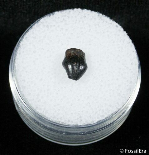 Nicely Preserved Thescelosaurus Tooth