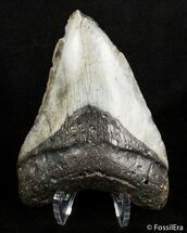 Carcharocles megalodon - Fossils For Sale - #2901