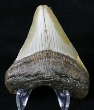 Carcharocles megalodon - Fossils For Sale - #18606