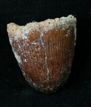 "Beautiful .85"" Cretaceous Fossil Crocodile Tooth - Morocco For Sale, #18956"