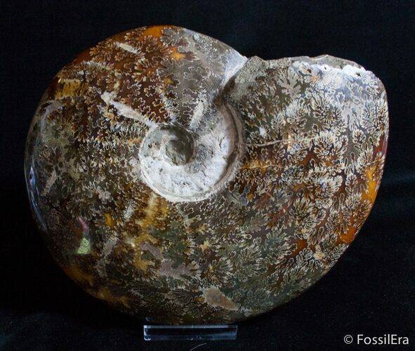 Massive 8.8 Inch Wide Polished Ammonite Fossil