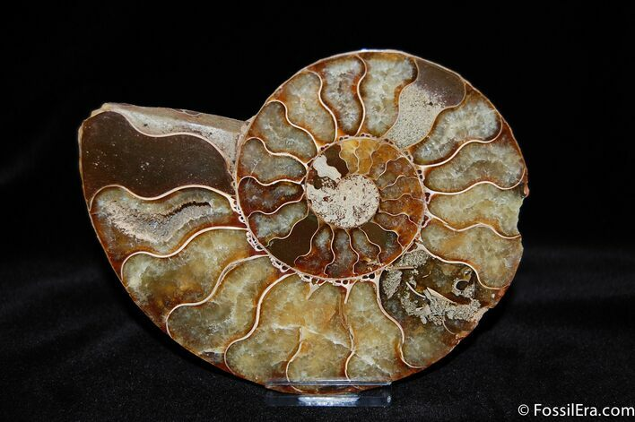 Beautiful 5 Inch Cleoniceras Ammonite
