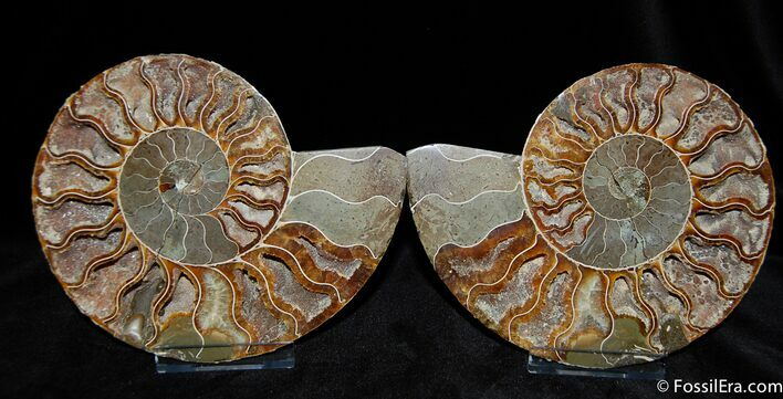 Large 6 Inch Ammonite With Crystal Cavities