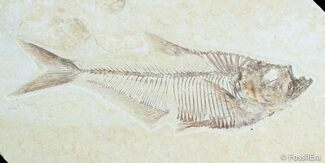 Detailed 4 1/4 Inch Diplomystus Fossil Fish For Sale, #3095