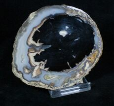 Blue Forest Petrified Wood Slice (3 inches) For Sale, #3239