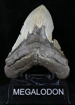 Carcharocles megalodon - Fossils For Sale - #21654