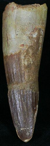 "Bargain 2.4"" Spinosaurus Tooth (Composite Tooth)"
